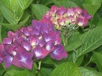 赤紫色の紫陽花の花