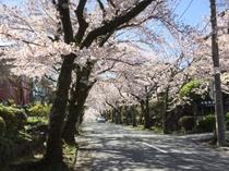伊豆高原桜並木の桜のアーチ