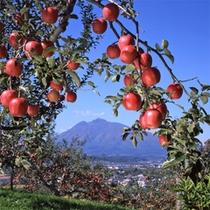 *【りんご農園】りんごの木の間より望む、町並みと雄大な岩木山。まさに絶景です!