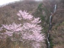 (春)大山桜