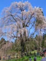 (春)水中のしだれ桜
