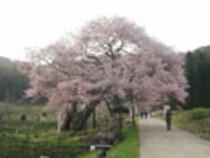 (春)黒部の江戸ひがん桜
