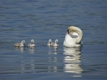 山中湖の白鳥