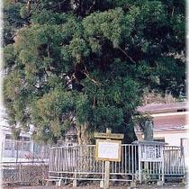 精進湖の大杉