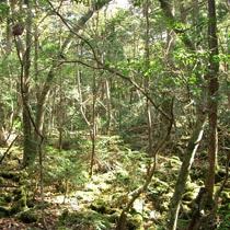 精進湖原生林