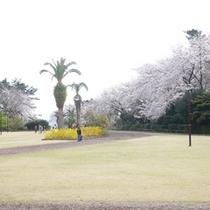 *【周辺】お林展望公園の桜