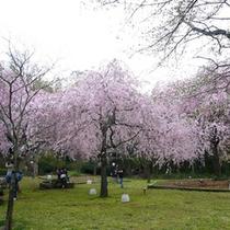*【周辺】荒井城址公園の桜