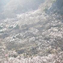 *【風景】湯河原幕山公園の梅林