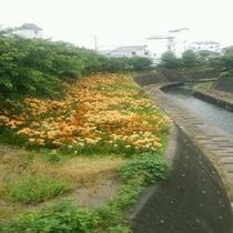 ◆掛川城下を流れる逆川では百合が見ごろ!