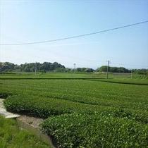 ◆お茶畑 掛川の深蒸し緑茶は逸品です!