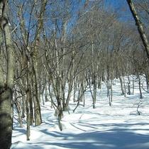 *ブナ林も冬は一面雪景色!
