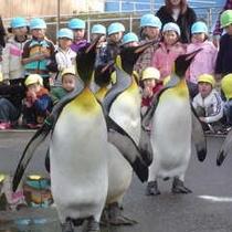 越前松島水族館(オウサマペンギンのお散歩)