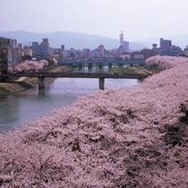 足羽川の桜 ※例年4月上旬~中旬が見頃