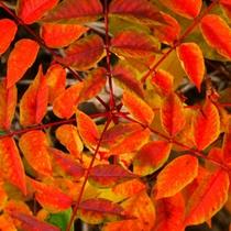 *紅葉/色鮮やかに染まった木々をお楽しみください。