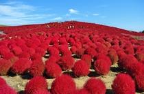 真っ赤に紅葉したコキア(ひたち海浜公園)