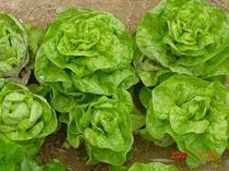 畑のサラダ菜