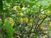 トゥインクルの無農薬レモン