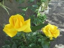 トゥインクルのバラ