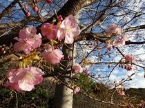 トゥインクルの河津桜1月26日1分咲き