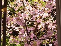 215号室満開の河津桜