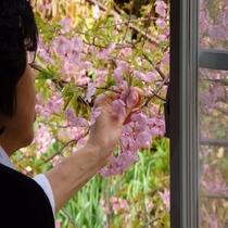 215号室窓辺の河津桜