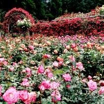 初夏と秋に200種2000株のバラが咲き誇ります。平和への祈りを込めたバラをぜひご観賞下さい。