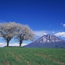 ニセコのシンボル羊蹄山と桜