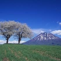 ニセコのシンボル「羊蹄山」と桜