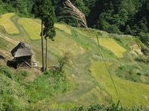 稲刈り前の留守原の棚田