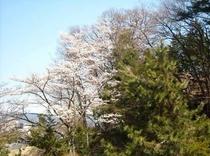 桜26年4月24日撮影