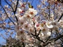 春満開の桜