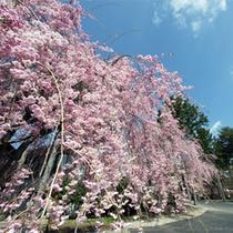*春の大芝高原/敷地内に咲き誇るしだれ桜。のんびりお花見を満喫。