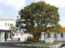 正面玄関前の山桃の木