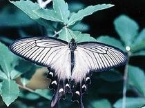 ジャコウアゲハ・姫路市の蝶