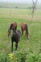 6-23午後 黒馬と浜茄子