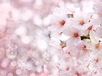 湯河原の桜【4月上旬~】