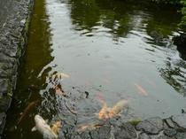 お庭には鯉が泳いでいます☆