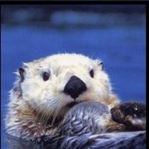 鳥羽水族館。おとぼけラッコ君。見かけたら声をかけてねよろしく。!(^^)!楽天500