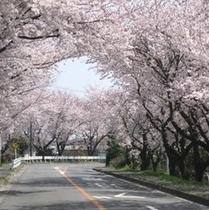 中部台運動公園桜並木 ホテルのある所さよ!(*^^)v楽天500