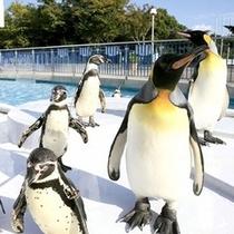 鳥羽水族館 よちよちペンギンショー!かわいい。楽天500
