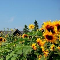 松阪農業公園ベルファームのひまわり。!(^^)!v楽天500
