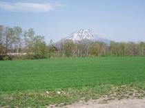 初夏 小麦畑と羊蹄山
