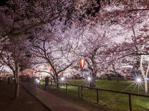 高遠城址の夜桜
