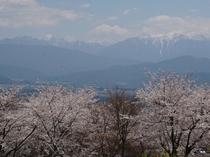 桜の南アルプス