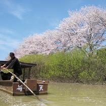 ■大聖寺の桜と川流し舟