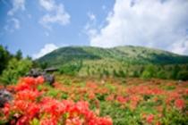 鹿沢高原のレンゲツツジ