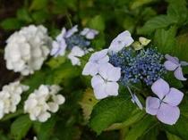 色々な種類の紫陽花