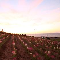 *みさき台公園/夕暮れ時とお花畑の美しい風景。こんな景色がすぐ見られるのも北海道ならでは。
