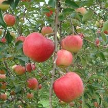 秋の青森のりんご