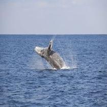 冬には沖縄近海にクジラがやってきます。そして見れます!